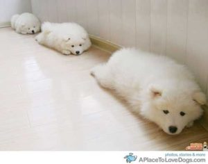 chows